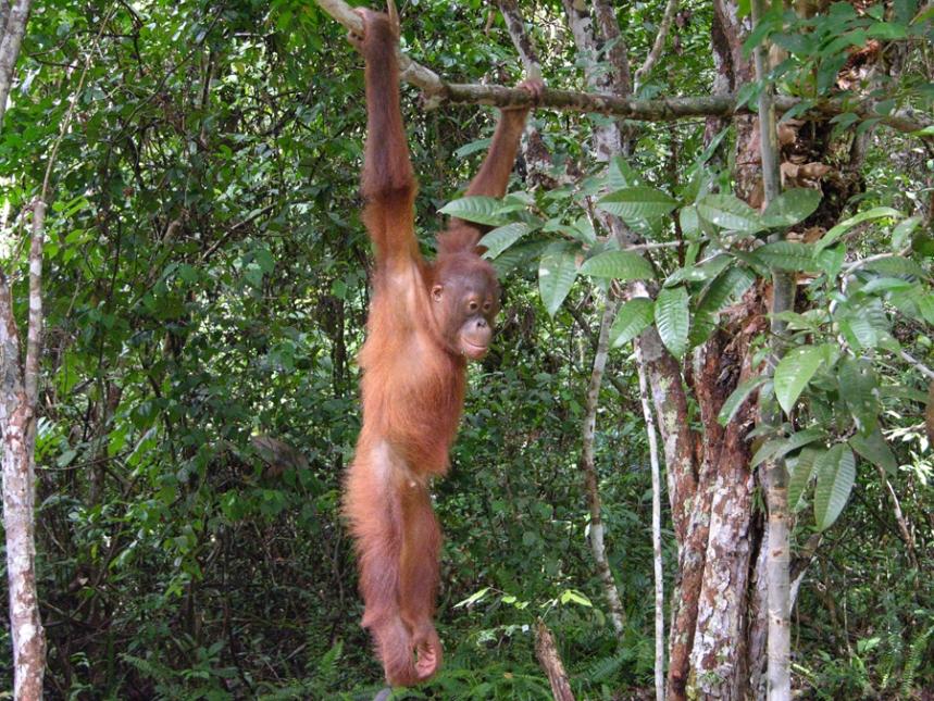 orangutan1_by_erv