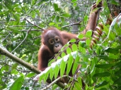 orangutan2_by_erv