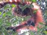 orangutan5_juv_0823