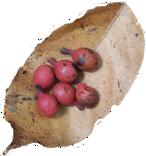 fruit_leaf
