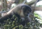 capuchin_monkey2