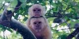 capuchins1_09