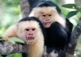 capuchins2_tr2