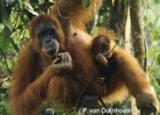 orangutans2_tree