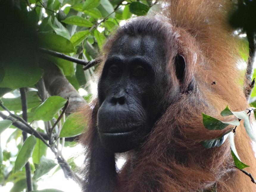 orangutan article
